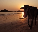 A cow wanders Om Beach at sunset