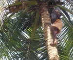 climbing-for-coconuts