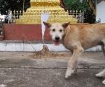 A scruffy dog passing a chedi