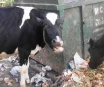 indian-cattle-feed