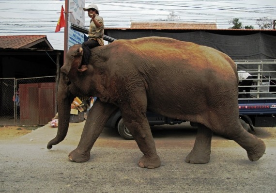A female elephant in the traffic on the outskirts of Luang Prabang