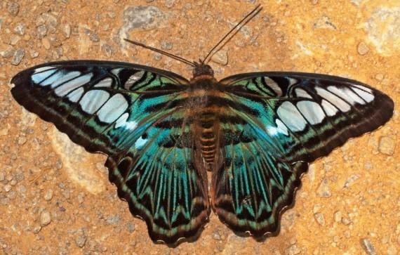 Metallic wings in the jungles of Laos